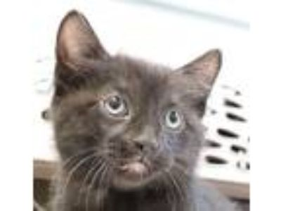 Adopt Cornelius a Domestic Longhair / Mixed cat in Sioux City, IA (25330309)