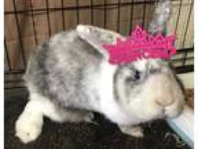 Adopt CALIPATRIA a White Other/Unknown / Mixed rabbit in Tacoma, WA (24994346)