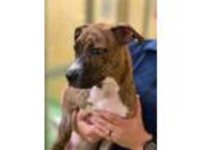 Adopt Cinnamon a Brindle Terrier (Unknown Type, Small) / Mixed dog in Columbia