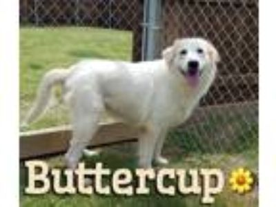Adopt Buttercup a White Great Pyrenees / Mixed dog in Forney, TX (25894284)