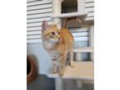 Adopt Zack a Orange or Red (Mostly) Domestic Shorthair (short coat) cat in