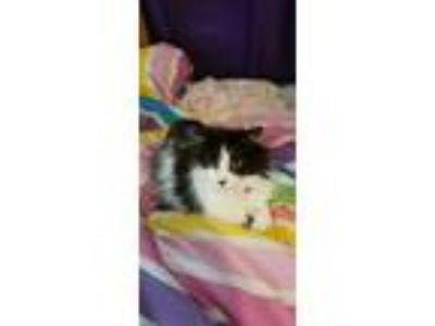 Adopt Vivian a Black & White or Tuxedo Domestic Shorthair / Mixed cat in