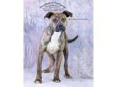 Adopt Bronson / AC 20328 a Boxer / Terrier (Unknown Type