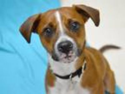 Adopt Pippin a Terrier (Unknown Type, Medium) / Mixed dog in Portland