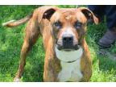 Adopt Kane a Brindle American Pit Bull Terrier / Mixed dog in Robinson
