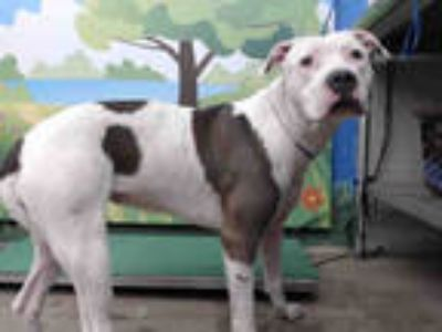 Adopt MAE a White - with Brown or Chocolate American Pit Bull Terrier / Mixed