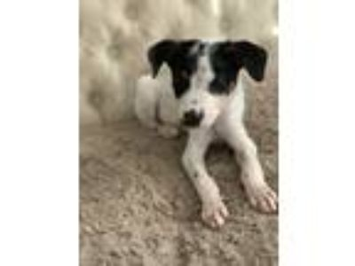 Adopt Kane a Rat Terrier, Australian Cattle Dog / Blue Heeler