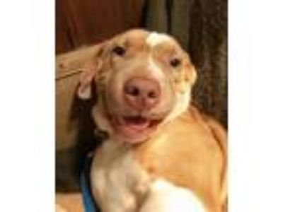 Adopt Squishy - URGENT NEED FOSTER a Pit Bull Terrier, Shar-Pei
