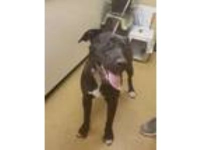Adopt Gunner a Black American Pit Bull Terrier / Mixed dog in Corvallis