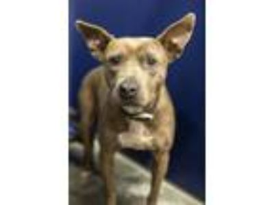 Adopt Sassy a Brindle Pit Bull Terrier / Mixed dog in Henderson, NC (25816029)
