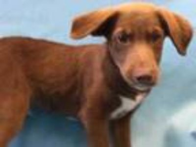 Adopt Carter a Brown/Chocolate Labrador Retriever / Hound (Unknown Type) / Mixed