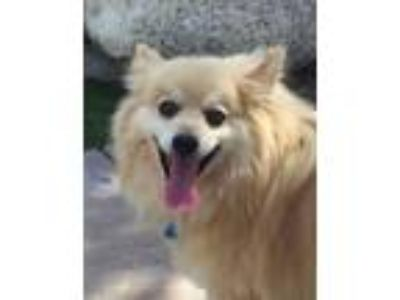 Adopt ROCKEY a Tan/Yellow/Fawn - with White Pomeranian / Mixed dog in Palm