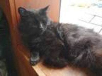 Adopt Ebony a Domestic Long Hair