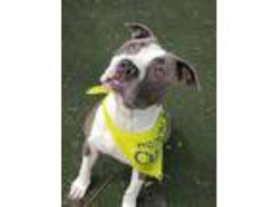 Adopt Truffle a American Staffordshire Terrier