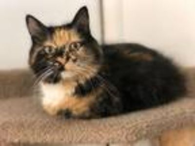 Adopt Dolla a Domestic Medium Hair, Calico