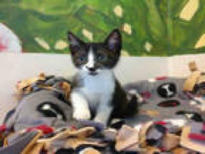Adopt MITZ a Black & White or Tuxedo Domestic Shorthair / Mixed (short coat) cat