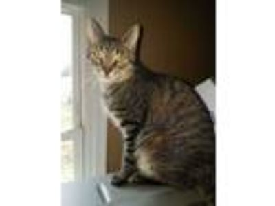 Adopt Cheech a Domestic Short Hair