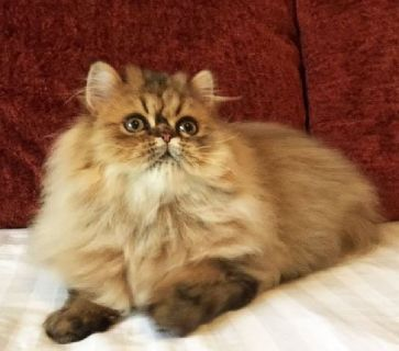 Golden Persian Male Kitten - CFA Reg