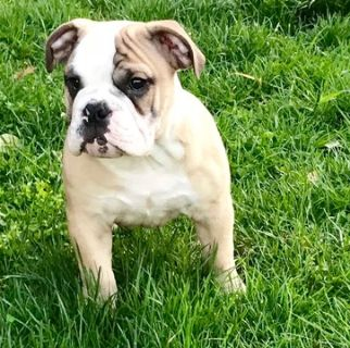 English Bulldogge PUPPY FOR SALE ADN-81425 - Playful Champion Breed  English Bull Dog Litter