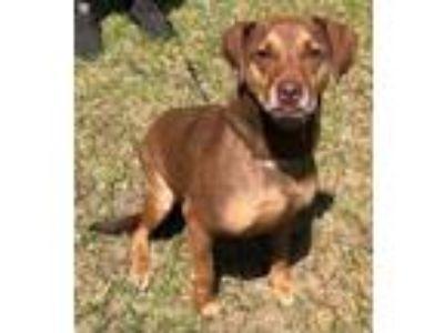 Adopt Farrah#1M (Kipper) a American Staffordshire Terrier, Boxer