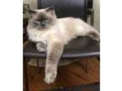 Adopt Watson a Cream or Ivory Persian / Domestic Longhair / Mixed cat in