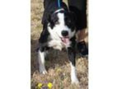 Adopt Chase a Border Collie