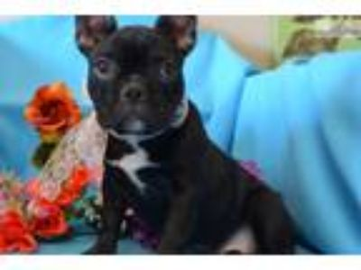 Lacy' AKC Black French Bulldog Puppy for sale
