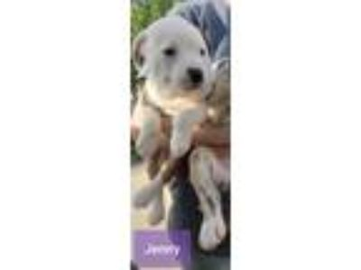 Adopt Jenny a White Terrier (Unknown Type, Small) / Boxer / Mixed dog in Justin