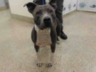 Adopt ROGER a Gray/Silver/Salt & Pepper - with White American Pit Bull Terrier /