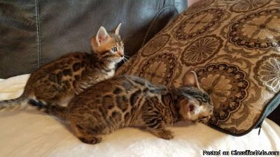 Bengal 8 weeks, need a new home asap