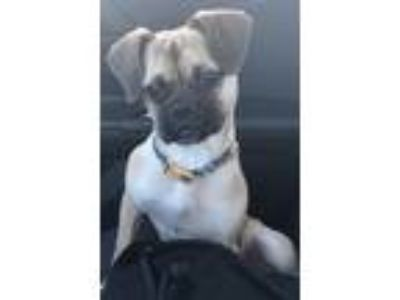 Adopt Coco a Tan/Yellow/Fawn Pug / Beagle dog in Laurel, MD (25157898)