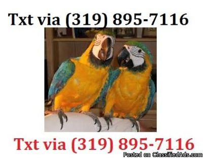 sxxs beautiful Blue and Gold Macaws parrots