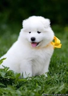 Sweet male and female Samoyed puppies available