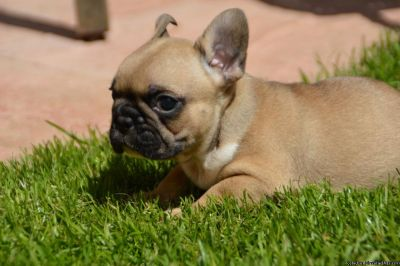 Priceless Fawn French Bulldog Puppy