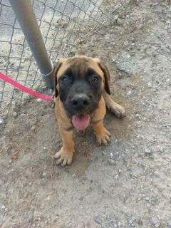 Boerboel PUPPY FOR SALE ADN-92611 - Norseland Boerboels Female Puppy