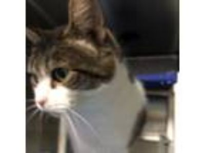 Adopt Matti a Gray or Blue Colorpoint Shorthair cat in Roanoke, VA (25581374)