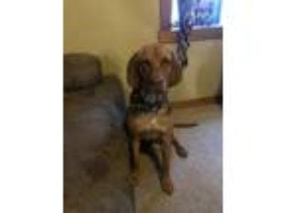 Adopt Tucker a Coonhound