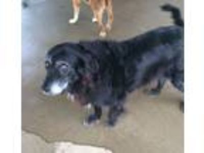 Adopt Maddy a Border Collie, Retriever