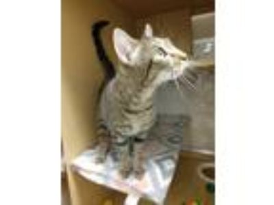 Adopt Zephyr a Brown Tabby Domestic Shorthair (short coat) cat in Schenectady