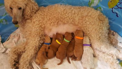 Red/ Apricot Standard Poodle Puppies