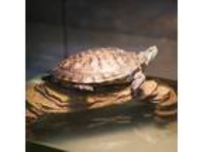 Adopt *TOBOGGON a Turtle - Other / Mixed reptile, amphibian