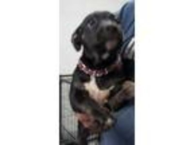 Adopt arrest puppy a Black American Staffordshire Terrier / Mixed dog in