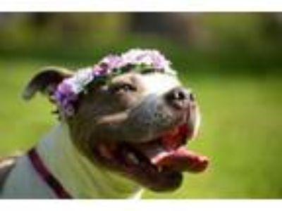 Adopt Hannah a Pit Bull Terrier, Staffordshire Bull Terrier