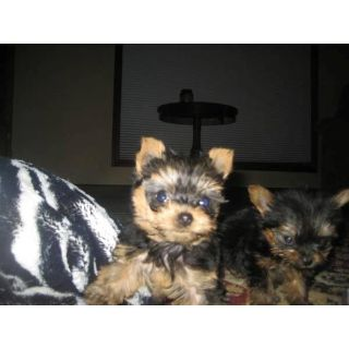 Teacup Yorkie Puppies Available. Text 918 901-8500