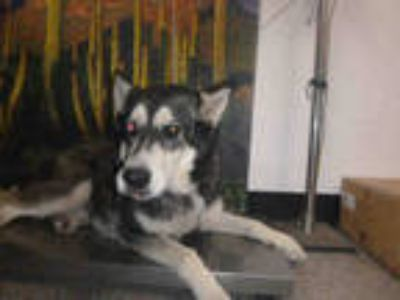 Adopt BUDDY a Black - with White Alaskan Malamute / Husky / Mixed dog in