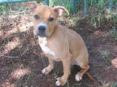 Adopt a Tan/Yellow/Fawn - with White Boxer / Mixed dog in Oklahoma City