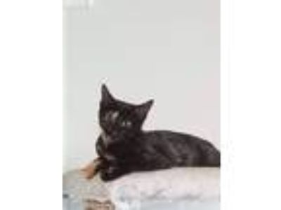 Adopt Echo a Tortoiseshell Domestic Shorthair (short coat) cat in LaGrange Park
