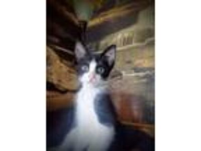 Adopt Moon Pie a Black & White or Tuxedo Domestic Shorthair (short coat) cat in