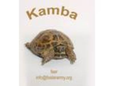 Adopt Kamba a Tortoise reptile, amphibian, and/or fish in Riverside