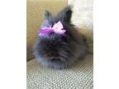 Adopt Bella a Black Lionhead / Mixed (long coat) rabbit in Hahira, GA (23802519)